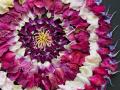 China Rose, Rittersporn, Essigrose, Kartoffelrose