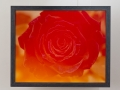 1991_Rose rot
